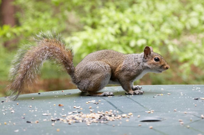 Grey Squirrels