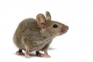Wood mouse in front of white background